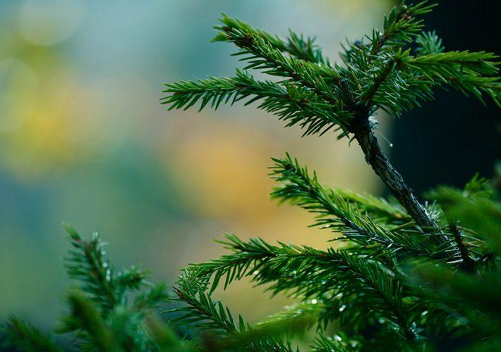 Drugie życie drzewka, czyli co zrobić z choinką po Świętach?